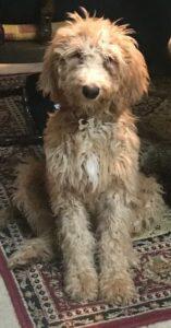 Shaggy pup