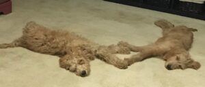 Two Doodles Laying On The Floor