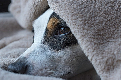 Terrier burrowed in blanket
