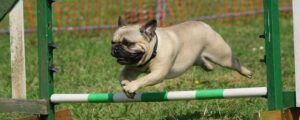 Pug leaping over hurdle.