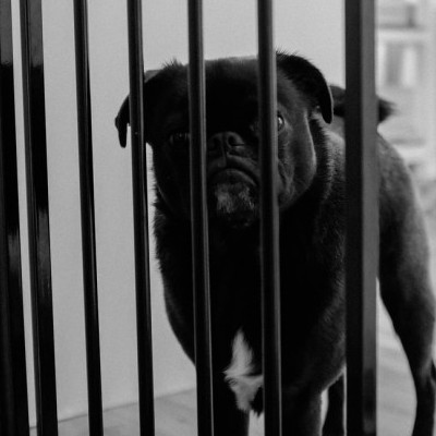 Pug behind bars.