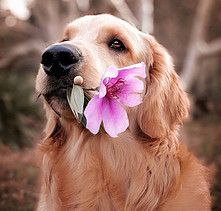 Golden Retriever with flower in it's mouth.