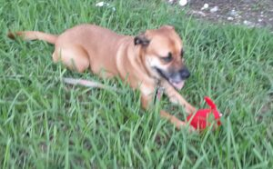 Pup Laying in grass with red toy.