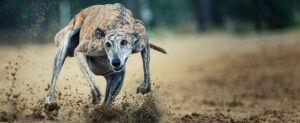 Greyhound in a full run.